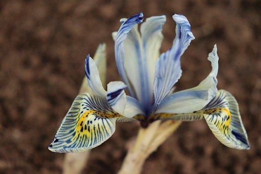 Iris Reticulata, Katharine Hodgkin, Spring