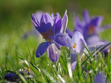 Crocus, Small, Macro, Flower Meadow, Spring