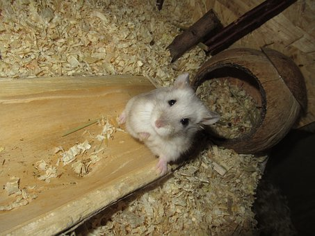 Sweet, Hamster, White, Cute, Rodent, Animal