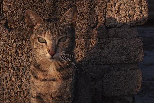 Cat, Animal, Feline, Pet, Cute, Portrait, Tiger