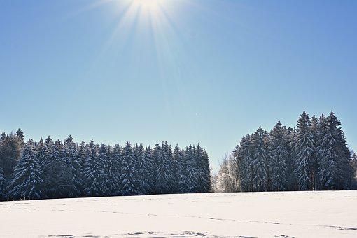 Winter, Forest, Snow, Conifers, Trees