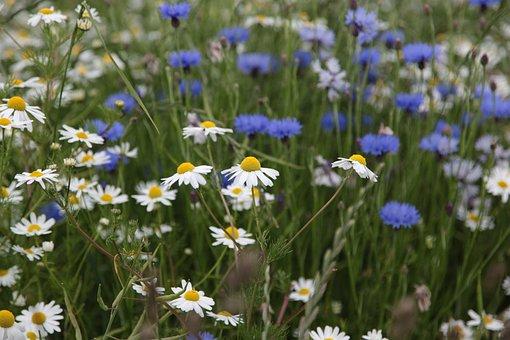 Flowers, Cornflowers, White, Blue, Field Flowers