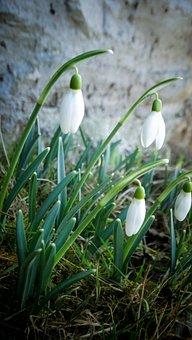 Snowdrop, Flower, Spring, Spring Awakening, White