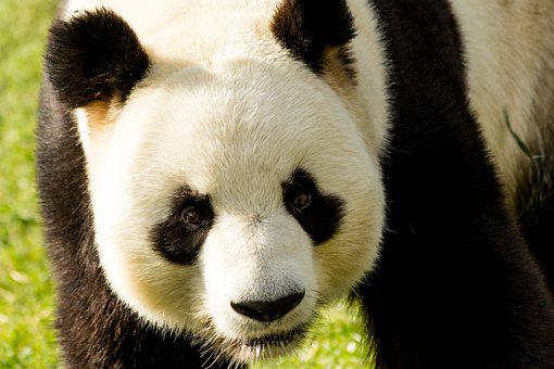 Panda, Animal, Wildlife, Panda Bear