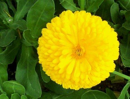 Flowers, Nature, Plants, Garden, Yellow, Petal
