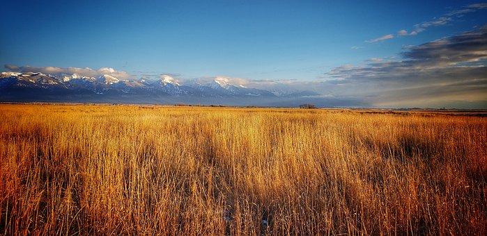 Wheat, Field, Montana, Farm, Agriculture, Nature