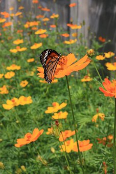 Flowers, Butterfly, Animal, Insect, Pollinate, Outdoor