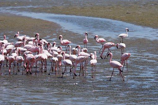Flamingo, Namibia, Sea, Bird, Africa, Animal, Pink