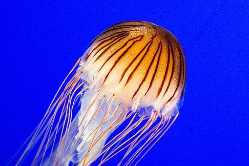 Jellyfish, Creature, Aquarium, Ocean, Underwater