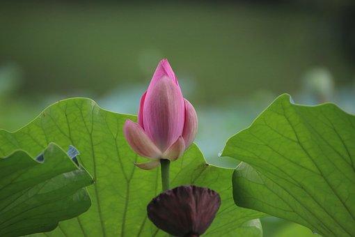 Lotus, Bud, Plant, Water Lily, Aquatic Plant, Flora