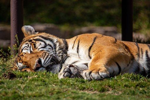 Bengal Tiger, Animal, Sleep, Tiger, Mammal, Big Cat