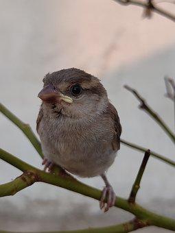 Sparrow, Birds, Animal, Sparrows, Wildlife, Garden