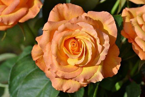 Flower, Rose, Petals, Bloom, Bouquet, Blossom, Plant