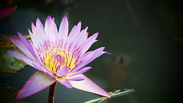 Flower, Lotus, Petals, Aquatic, Plant, Lily, Bloom