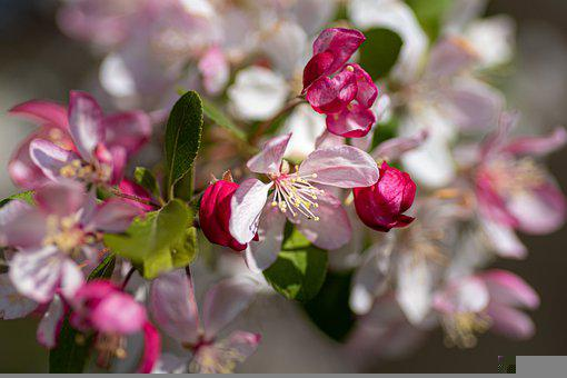 Apple Blossoms, Spring, Bloom, Pink, Garden, Nature