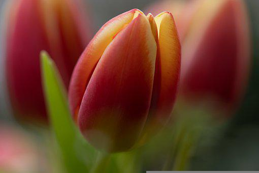 Tulip, Flower, Blossoming, Blooming, Spring Flower
