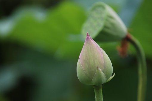Lotus, Bud, Seed Pod, Plant, Water Lily, Aquatic Plant