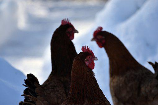 Chickens, The Hen, Hen, Laying Hens, Animals