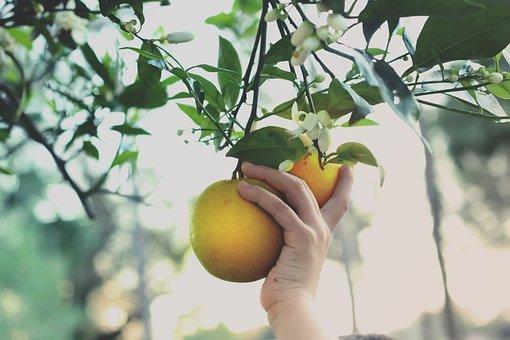 Hand, Picking, Oranges, Citrus, Tree, Orange Picking