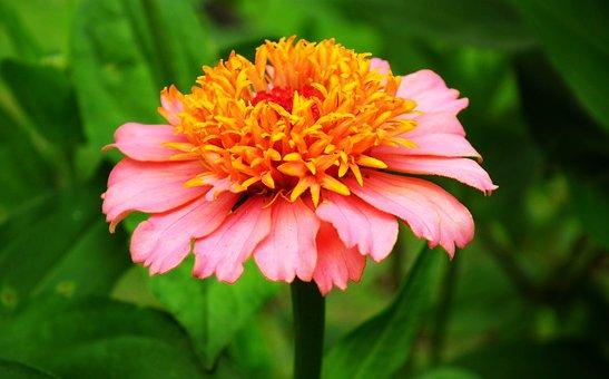 Zinnia, Flower, Colored, Plant, Garden, Nature, Closeup