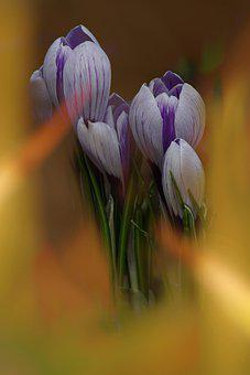 Crocus, Blossom, Bloom, Early Bloomer