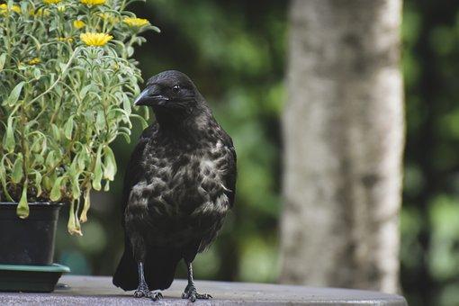 Crow, Bird, Animal, Raven Bird, Carrion Crow