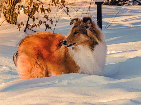 Beautiful, Black, Cold, Collie, Cute, Dog, Doggy