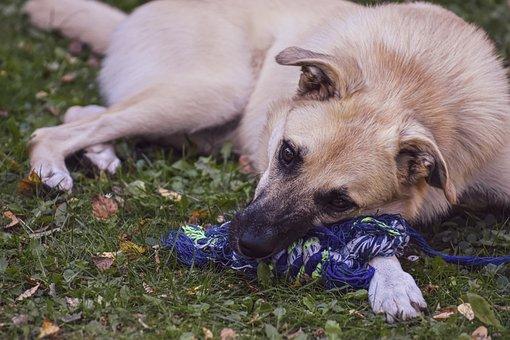 Dog, Pet, Play, Animal, Domestic Dog, Hybrid, Canine