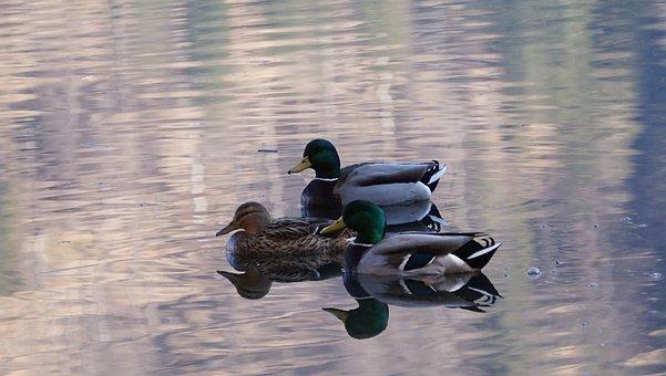 Ducks, Birds, Lake, Mallards, Waterfowls, Water Birds