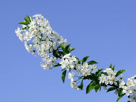 Fruit Tree, Branch, Wood, Flower, Bloom, Dusting, Bee