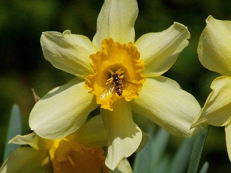 Daffodil, Flower, Bloom, Dusting, Bee, Spring, Garden