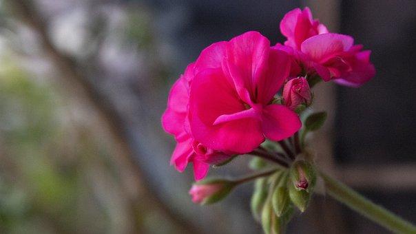 Flower, Petals, Rose, Spring, Flora, Plant, Colorful
