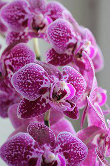 Orchids, Flowers, Plant, Pink Flowers, Bloom, Blossom