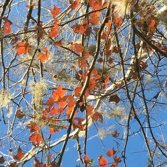 Gumnut, Florida, Tree, Maple, Sky, Autumn, Foliage