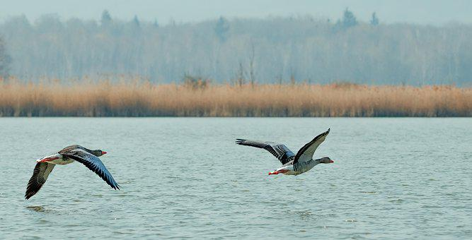 Geese, Grey Geese, Lake, Flight, Bird Flight, Animals
