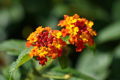 Lantana, Five-color Plum, Grass, Little Flower