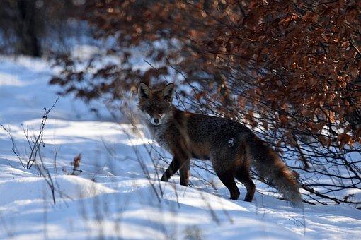 Red Fox, Animal, Winter, Snow, Fox, Mammal, Wildlife