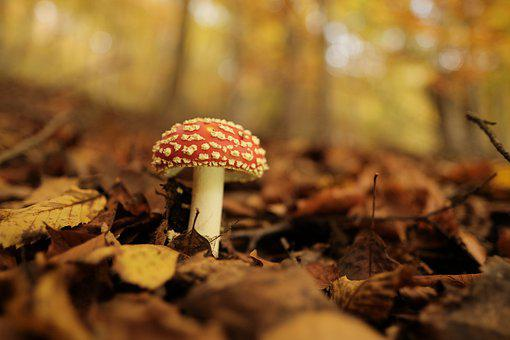 Fly Agaric, Mushroom, Forest, Toadstool, Fungus, Toxic