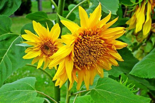 Sunflowers, Flowers, Yellow, Nature, Plants