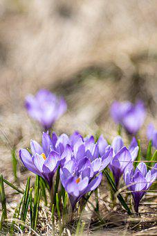Crocus, Spring, Spring Awakening, Nature, Flowers