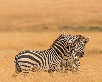 Zebra, Masaimarra, Playful, Landscape, An, Nature, Fun