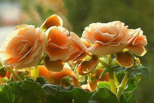Begonia, Flowers, Orange, Colorful, Shaded, Decorative