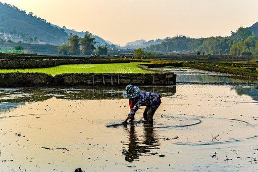 Transplanted Rice, Paddy Field, Farmer, Rice, Mountain