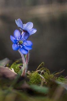 Hepatica, Flowers, Blue Flowers, Perennial, Blue Petals