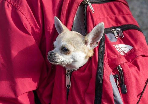 Backpack, Chihuahua, Dog, Hiking, Pet, Dog Head