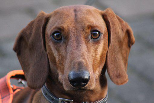 Dachshund, Dog, Pet, Animal, Head, Snout, Purebred Dog