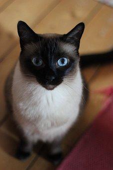 Cat, Pet, Siamese Cat, Animal, Domestic Cat, Feline
