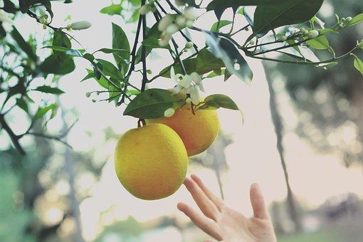 Oranges, Hand, Picking, Child, Citrus, Fruits, Food