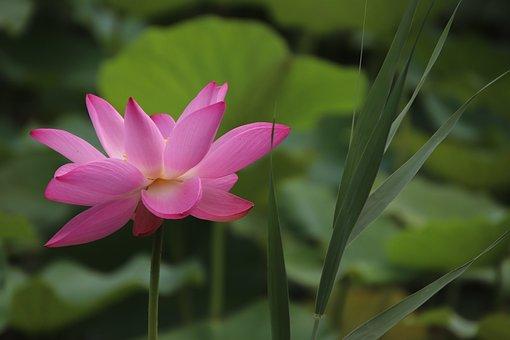 Lotus, Plant, Water Lily, Aquatic Plant, Flora