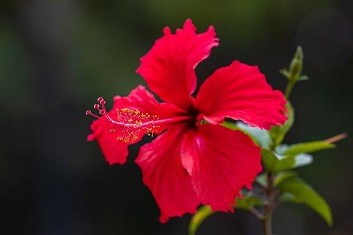 Hibiscus Flower, Flower, Plant, Petals, Stamen